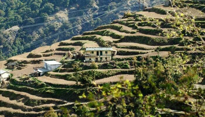 Dhan Kharak Potato Farming