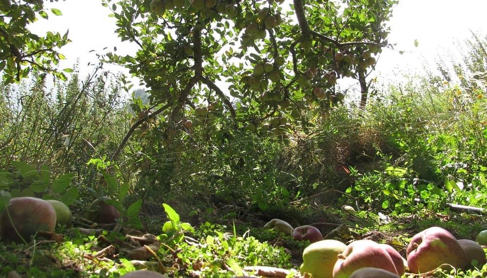 Harsil- Apple Orchard