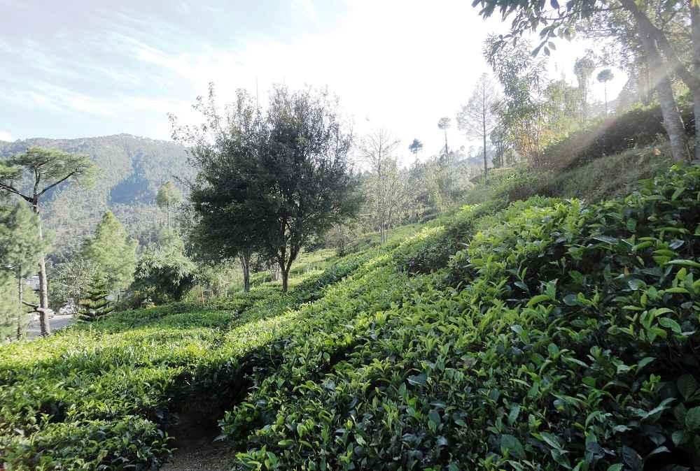 Tea Garden Kausani Uttarakhand